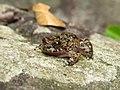 Cycloramphus brasiliensis 49111661.jpg