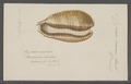 Cypraea cervina - - Print - Iconographia Zoologica - Special Collections University of Amsterdam - UBAINV0274 088 02 0007.tif