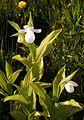 Cypripedium reginae alba Orchi 4-2011 14.jpg
