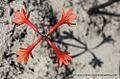 Cyrtanthus ventricosus01.jpg