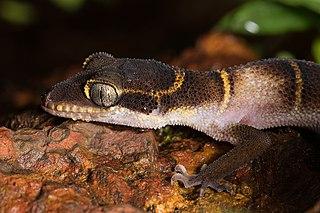 <i>Cyrtodactylus albofasciatus</i> Species of lizard