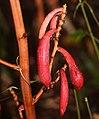Cyrtosia septentrionalis (fruits).jpg