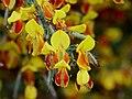Cytisus scoparius Firefly.jpg