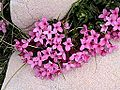 DAPHNE CNEORUM - BÒFIA - IB-407 (Flor de pastor).JPG