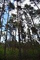 DSC 7030 Bacieczkowski Forest in Białystok.jpg