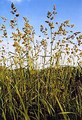 Reznačka laločnatá (Dactylis glomerata)