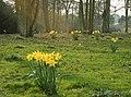 Daffodils near Erlestoke - geograph.org.uk - 1215141.jpg