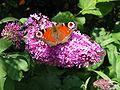 Dagpauwoog op vlinderstruik.jpg