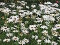Daisies in a Field.jpg