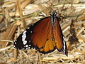 Danaus chrysippus (African Monarch), Skala Kalloni, Lesbos, Greece.jpg