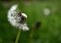 Dandelion seedhead.jpg