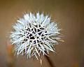Dandelion tuft.jpg