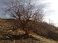 Dar gvez یه م دارگویزه سالی 89 دوایی به فره زوره که په له کانی شکا - panoramio.jpg