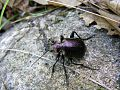 Dark-Beetles 32740-480x360 (4999974731).jpg