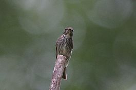 Dark-sided Flycatcher on branch.jpg