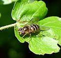 Dasysyrphus venustus - Flickr - gailhampshire.jpg