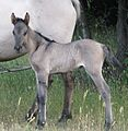 Day old Sorraia foal at the Ravenseyrie Sorraia Mustang Preserve.jpg
