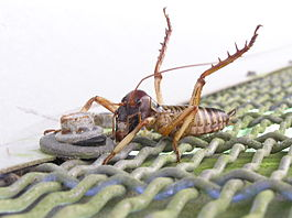 Defensive tree weta.jpg