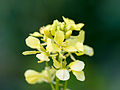 Delicate yellow flowers (14286705015).jpg