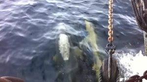 File:Delphinus Delphis - Common Dolphin, Port Davey SW Tasmania 720p.ogv