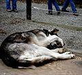 Denali Sled Dogs... (2563000009).jpg