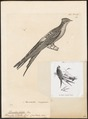 Dendrochelidon klecho - 1700-1880 - Print - Iconographia Zoologica - Special Collections University of Amsterdam - UBA01 IZ16700103.tif