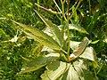 Dentaria glandulosa 2017-05-06 9783.jpg