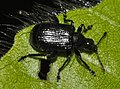 Deporaus-betulae-01-fws.jpg