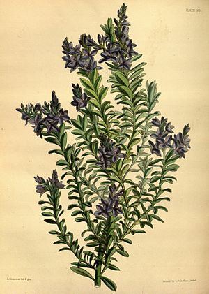 Derwentia formosa Paxton 095.jpg