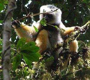 Diademed sifaka - Diademed sifaka mid canopy, Mantadia National Park