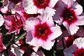 Dianthus chinensis Raspberry Parfait 0zz.jpg