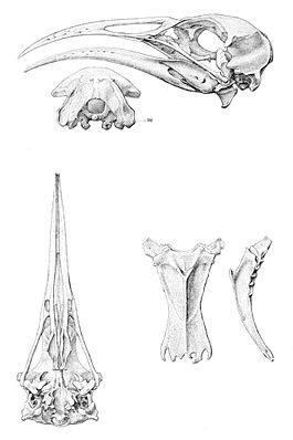 Diaphorapteryx hawkinsi 1 1896.jpg