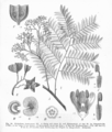 Dictyoloma incanescens.png