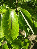 Diospyros virginia (Ebenaceae) (leaves).JPG