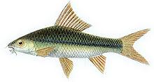 侧带纹唇鱼