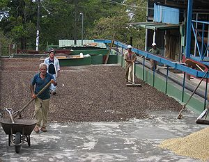 Coffee production - Traditional coffee drying in Boquete, Panamá