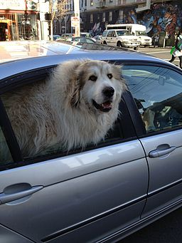 Dog in car windo dog carrier