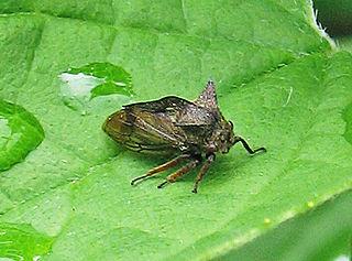 Homoptera Suborder of true bugs