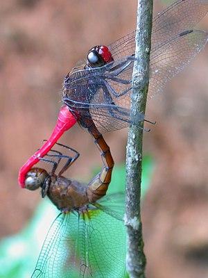 Orthetrum pruinosum, Dragonfly from Wayanad Kerala
