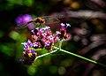Dragonfly - Flickr - Me in ME.jpg