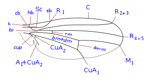 Drosophilidae wing veins-1.svg