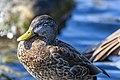Duck (42393103400).jpg