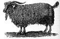 EB1911 Male Angora Goat.jpg