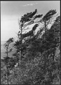 EMBATTLED EVERGREENS - NARA - 520145.tif