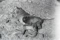 ETH-BIB-Affe und Hundemutter-Abessinienflug 1934-LBS MH02-22-1188.tif