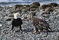 Eagles Dual 167 (26446726200).jpg