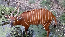 Eastern Bongo at Jacksonville Zoo.jpg