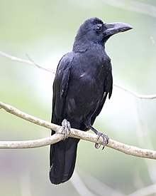Eastern Jungle Crow (Corvus levaillantii).jpg