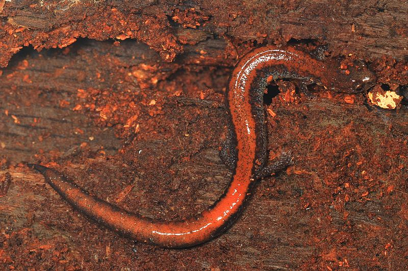 File:Eastern Red-backed Salamander - Plethodon cinereus, Elizabeth Hartwell Mason Neck National Wildlife Refuge, Mason Neck, Virginia.jpg
