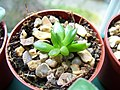 Echeveria Black Knight from a leaf cutting (5022991102).jpg